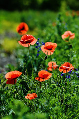 Poppies (Kapitalist63) Tags: poppies flowers field color red cluster meadow nature plants beauty yupiter37