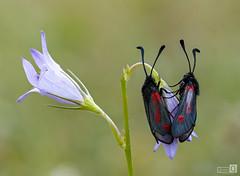 Flores y Amantes (Zygaena trifoli) (JoseQ.) Tags: zygaena trifoli mariposa insecto bicho animal gitanilla puntos campo pareja amantes colores airelibre primavera amor flores macro macrofotografia olympus