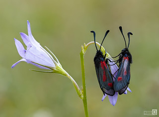 Flores y Amantes (Zygaena trifoli)