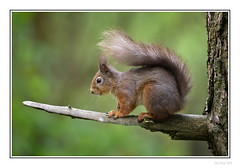 Perching Red (Seven_Wishes) Tags: lockerbie eskrigg outdoor photoborder canoneos5dmarkiv sigma150600mmf563dgoshsmcontemporary jo eskriggnaturereserve animals wildlife nature dof depthoffield rodent mammal redsquirrel squirrel woodland edoliverphotography tree branch animal 2018 wood views10k