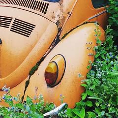 Forget me not _ . . . . . . . #beetle #vw #vwbeetle #vwbeetlelovers #bug #vwbug #veedub #veedubs #left #overgrown #forgetmenot #forgetmenots #orange #classiccars #classicbeetle #neglected #vintagecars #lefttorot #minimal (Dan Chippendale) Tags: ifttt instagram vw beetle flowers bug orange classiccar vintagecar square