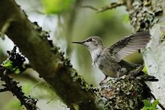 04 15 2018 Z60z Ready to Face the World (srypstra) Tags: lillianhoffarpark wingstretch annashummingbird nest chicks