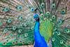 Peacock, Lokrum, Croatia (ncs1984) Tags: peacock bird beautiful feathers teal green blue eyes lokrum island croatia europe eu travel canon 6d ngc canon6d lokrumisland nature male