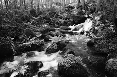 Meltwater in the Forest (Purple Field) Tags: contax g2 rangefinder carl zeiss g biogon 21mm f28 kodak 400tx trix bw monochrome film analog 35mm aomori japan walking nature forest water コンタックス レンジファインダー ビオゴン カール・ツァイス コダック トライx 白黒 モノクロ フィルム アナログ 銀塩 青森 日本 散歩 自然 森 水 初夏 canoscan9000fmark2