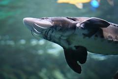 IMG_8636 (giltay) Tags: takumarsmc55mmf18 fish