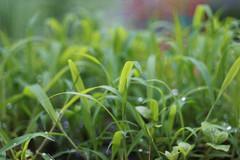 DSC08563 (Old Lenses New Camera) Tags: sony a7r meyer meyeroptik trioplan 100mm f28 plants garden leaves dewdrops
