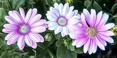 Blossom -42- (Jan 1147) Tags: blossom bloei bloem bloempen flower flowers nature natuur depinte belgium outdoor buitenopname