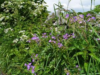 Wood crane's-bill (Geranium sylvaticum), Stackhouse, Ribblesdale