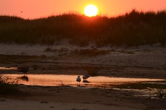 Sunset Birds (padraicsmeehan) Tags: beach sunandsurf sand birds coast longisland atlanticbeach ny newyork unitedstates usa america beachclub wading ocean atlanticocean