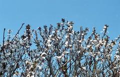 Jpeg032 (fedeskier) Tags: flower blossom olympus om10 om 10 film kodak color plus 200 rullino turin torino spring macro city citta italy italia jpeg life cool