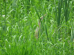 American Bittern Hiding In The Marsh (amyboemig) Tags: americanbittern bittern marsh grass rushes green spring bird wading heron camouflage striped brown may sandhillroad