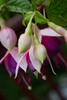 IMG_9848 (armadil) Tags: backyard flower flowers fuchsia