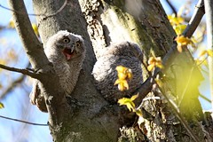 Eastern Screech Owlets (kevinwg) Tags: nature tree eastern screech owlet easternscreechowlets owl easternscreechowl