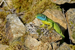 Lezard vert - Western green lizard - Lacerta bilineata (BPBP42) Tags: animal nature lezard lizard reptile