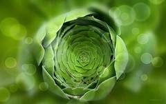 Bejeque, Góngaro canario. Aeonium canariense (☮ Montse;-)) OFF) Tags: flora bejeque góngarocanarioaeoniumcanariense aeonium nature verde green macro