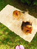 It was a warm and lazy day. (mintukka) Tags: cute dog pomeranian pet sweet spring grass warmday pink dogs paavo pena crocks pinkscrocks flatlay carpet poms garden pomeranians paavopena furry boys springtime happiness lazyday