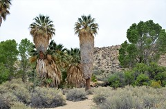 California Fan Palm, Joshua Tree National Park, California, Riverside County, Cottonwood Spring (EC Leatherberry) Tags: california joshuatreenationalpark nationalparkservice nationalpark riversidecounty oasis sonorandesert coloradodesert fanpalm washingtoniafilifera californiafanpalm