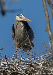 Heron Rookery (TreeTree2012) Tags: heron greatblueheron rookery