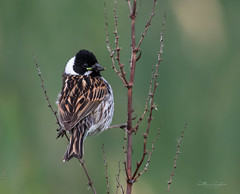 Reed Bunting.... (Catherine Cochrane) Tags: birds nature wildlife outdoors wildbirds