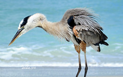 Ruffled Feathers (shelshots) Tags: gbh great blue heron greatblueheron shorebird feathers ruffled captiva bird beach