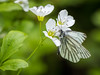 Green-veined white (Maria-H) Tags: highpeakdistrict england unitedkingdom gb greenveinedwhite pierisnapi butterfly dungevalleygarden derbyshire uk olympus omdem1markii panasonic 100400