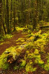 Monowai bush (robjdickinson) Tags: tree grass forest nature moss wood vegetation flora landscape plant outdoors trunk ecosystem outdoor green leaf woodland wilderness wooded temperatebroadleafandmixedforest oldgrowthforest