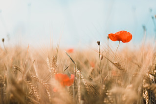 barley with red poppy