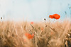 barley with red poppy (thethomsn) Tags: barley red poppy grain farming nature closeup bloom corn soft background thethomsn canon 6dmk2 50mm flower earth