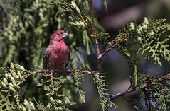 Alert (robinlamb1) Tags: nature outdoor animal bird finch housefinch carpodacusmexicanus male tree cedar cedartree
