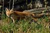 EdenLanding_052818_079 (kwongphotography) Tags: edenlandingecologicalreserve edenlanding wildlife wildlifephotography nature naturephotography eastbayregionalparks hayward california ca calif redfox fox unitedstates