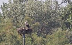 Cigogne blanche, et 2 cigognaux - IMBF1018 (6franc6) Tags: réserve scamandre mai 2018 occitanie languedoc gard 30 petitecamargue 6franc6