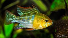 Mikrogeophagus ramirezi (Street Parrot) Tags: mikrogeophagus ramirezi animal fish aquarium aquatic