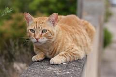IMG_3523 Rubio, Mallorca (Fernando Sa Rapita) Tags: rubio cat gato gatito mascota pet canon canoneos eos6d sigma sigmalens