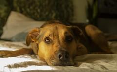notmydog (alex povey) Tags: pit pitbull notmydog