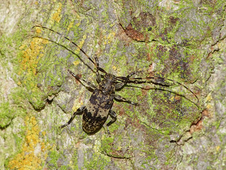 Black-clouded Longhorn Beetle (Leiopus nebulosus/Leiopus linnei)