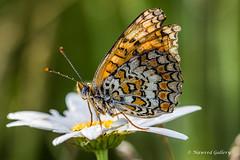 NAW-1168 (Nawred85) Tags: animaux boisdecéné insectes localisation lépidoptères nature papillon sauvages