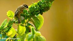 Sparrow (Genius Wizard) Tags: sikkim india gangtok northeastindia jahan nihar friends fun sparrows bushes teestariver himalayas