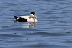 Male Eider Duck (robin denton) Tags: eiderduck seahouses northumberland coast duck somateriamollissima seabird bird nature wildlife