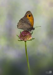 Maniola jurtina (Loba) (JoseQ.) Tags: macro macrofotografia mariposa animal insecto bicho marron alas posadero flor campo fondo desenfoque