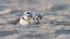 Piping Plover | 2018 - 30 (RGL_Photography) Tags: birding birds birdwatching charadriusmelodus chick endangeredspecies gardenstate gatewaynationalrecreationarea hatchling jerseyshore monmouthcounty mothernature newjersey nikonafs600mmf4gedvr nikond500 ornithology pipingplover plover sandyhook shorebirds us unitedstates wildlife wildlifephotography