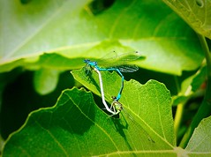 When blue and white unite they form a heart. (marionvankempen) Tags: dragonfly colour allotment portraits finesse group throughherlens