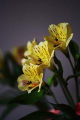 DSC_0327 Alstroemeria (PeaTJay) Tags: nikond750 sigma reading lowerearley berkshire macro micro closeups gardens indoors nature flora fauna plants flowers alstroemeria