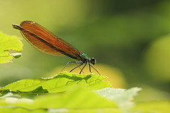 quella marrone, finalmente (SimonaPolp) Tags: dragonfly bug light sun bokeh macro nature june spring