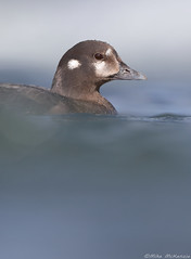 Harlequin duck (Mike Mckenzie8) Tags: istrionicus histrionicus iceland laxa wild wildlife bird river spring rapids white water