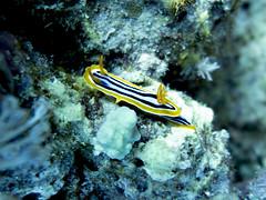 Chromodoris quadricolor (sharksfin) Tags: sudan redsea ocean sea deep south deepsouth rotesmeer marine life