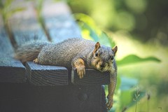 It's hot out... (Melinda G Pix) Tags: heat squirrel lazy critter animal nature naturephotography