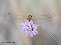 haPpyNeSs (Fernando Guirado) Tags: olympus stack libélula dragonfly flower flor 60mmmacro em1mk2 em1ii macro macrofotografia macrophoto macrophotography closeup blur