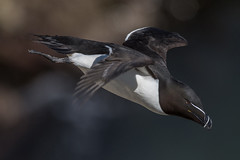 Razorbill in flight (Phil D 245) Tags: