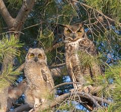 Mother and Child (dan.weisz) Tags: owl greathornedowl owlet nest bird birdofprey raptor tucson