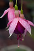 IMG_9850 (armadil) Tags: backyard flower flowers fuchsia